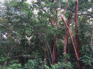 The red trees are called poison wood trees.
